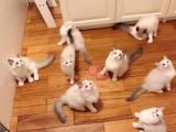 济南哪里有卖布偶猫 济南纯种布偶猫一只多少钱