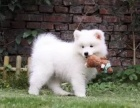 纯种微笑天使萨摩耶幼犬 雪白无水锈 骨骼粗 毛量足