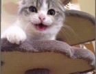可爱的三个月小折耳猫找好心人了