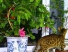 大庆本地猫舍纯种孟加拉豹猫出售