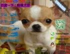 宠物店和狗市里的吉娃娃可以买吗 健康的多少钱一只