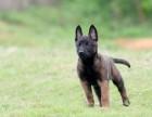 北京小马犬多少钱,哪里出售马犬小犬,怎么训练马犬幼犬