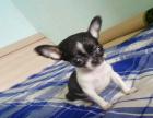 中国专业繁殖双血统吉娃娃犬舍 可以上门挑选