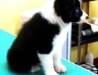 北京本地犬舍直销纯种,边境牧羊犬,质保三个月
