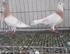 马头鸽两头乌大体元宝鸽各种观赏鸽出售