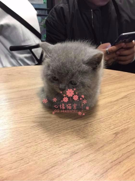 乌鲁木齐哪里有卖蓝猫的较便宜多少钱一只