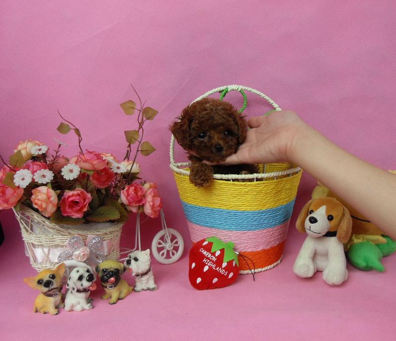 出售精品纯小体荼杯/玩具泰迪熊犬-可签协议
