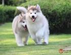 阿拉斯加纯种大型犬熊版巨型黑色红棕灰色雪橇犬幼犬活体宠物狗狗