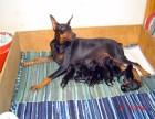 专业繁殖赛级德系杜宾幼犬