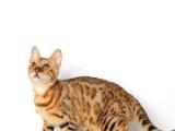 出售自家繁殖 孟加拉豹猫/银豹斑/玫瑰纹,先到先挑
