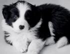 犬国超高智商宠物边境牧羊犬 三个月健康有保障