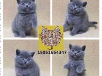 包纯种健康 波斯 加菲 金吉拉 渐层 蓝白 美短 布偶等幼猫