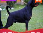 本地出售纯种罗威纳幼犬,十年信誉有保障