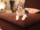温州哪里有美短猫虎斑加白卖 纯血统 萌翻你的眼球 品质保障