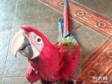 卖鸟了10多月绿翅红金刚鹦鹉