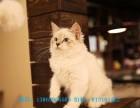 长沙哪里有双血统证书 自家精心侍养,无病 极好品相金吉拉幼猫