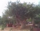 山东枣庄石榴树基地批发石榴树,石榴树苗,盆栽石榴树,石榴盆景