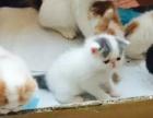 自家繁殖健康纯种加菲猫 弟弟妹妹都有 喜欢电话联系
