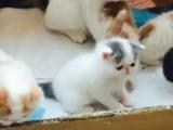 自家出售纯种加菲猫 弟弟妹妹都有 疫苗齐全