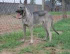 出售纯种狼青犬 狼青幼犬 品质好信誉高质量保