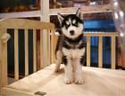 重庆狗场出售 哈士奇犬 证书齐全 签协议上门选狗