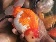 北京小冯渔场高端金鱼供应
