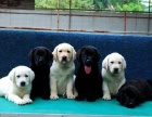 拉布拉多犬,拉布拉多犬舍,拉不拉多价格,专业繁育