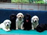 武汉基地直销极品拉布拉多幼犬 保健康保纯种 签售后协议