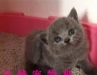 杭州猫舍出售精品英国短毛猫蓝猫 健康质保多只挑选