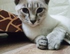 出售虎斑纹暹罗猫