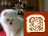 银狐犬多少钱 银狐犬成年多少斤 银狐犬成年照片