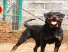 自家繁殖的纯种罗威纳幼犬 保健康 保纯种 可签署合