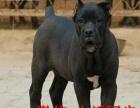 纯种卡斯罗幼犬 重头版大骨量 黑色勇士