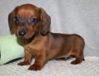 精品腊肠犬包纯种保健康签协议出售全国可飞可上门