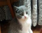 出售自家繁殖英短、加菲猫