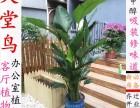 重庆室内植物盆栽办公室植物开业花篮生日鲜花红玫瑰