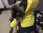 可爱的暹罗猫!超级黏人
