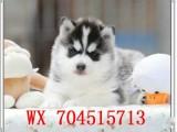 来自西伯利亚的纯种三把火双蓝眼的哈士奇幼犬出售中