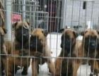 赞成肉狗养殖基地出售明犬加盟 种植养殖