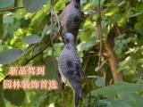 批发塑料斑鸠鸽子花园装饰园艺摆件诱鸟类摆件户外装饰品家居吊饰