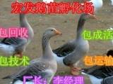 皖西白鹅丨鹅苗价格丨鹅苗丨鹅蛋丨鹅苗批发丨宏发鹅苗孵化场