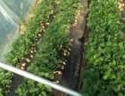 温室大鹏草莓采摘
