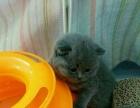 蓝猫 包子脸 因上学转让