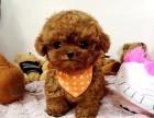 大连泰迪出售 泰迪多少钱 灰色泰迪出售 大连泰迪犬