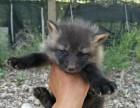 天津宠物狐狸多少钱一只
