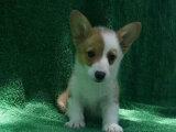 出售纯种活体柯基幼犬宠物狗狗两色柯基三色柯基小短腿