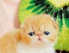 蓝白八字脸双色加菲猫宠物活体纯种幼崽异国短毛