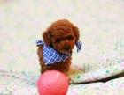 重庆出售精品泰迪犬,疫苗驱虫已做,可