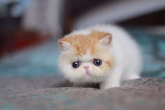 石家庄哪里有加菲猫卖 自家繁殖 品相极佳 多只可挑