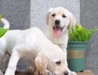 北京出售 拉布拉多犬 保纯种 三针疫苗齐全 健康血统有保障